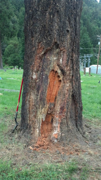 A wolf's head and a Bigfoot foot were found carved into a tree not far from the remains of what workers said looked like an attempt to build a wind break and use tree pitch to start a fire./Photos courtesy of VFW Post 9561