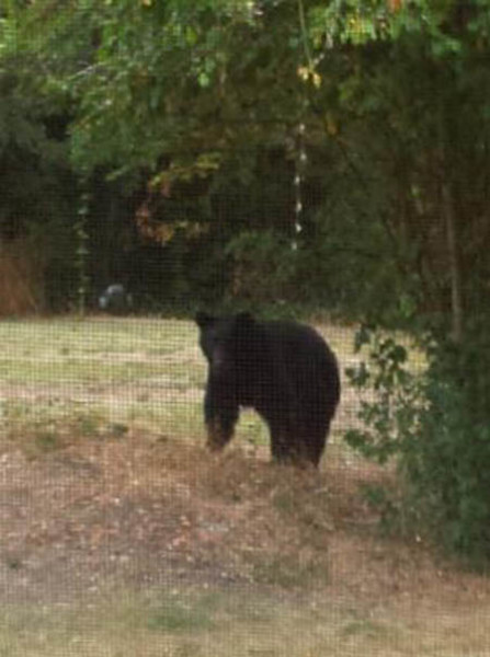 The Black Bear population is Humboldt County has been determined to be stable, not increasing nor decreasing. Wildlife Biologist Dave Lancaster said, currently there are approximately four migrating bears per square mile./Photo courtesy of Pamela Mattz