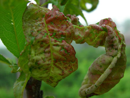 Peach leaf curl is a fungus that can severely damage the productivity of a tree or even kill it./Photo courtesy of the University of Missouri Agricultural Extension.