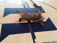 A dead deer was found on the Hoopa Valley High School Gymnasium floor on Tuesday, March 10.